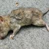 До чого сниться дохлий щур: значення сну