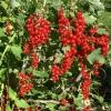 Червона смородина цукрова і її вирощування