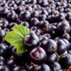 Чи можна мамі, що годує чорну смородину: користь для організму і правила введення в раціон